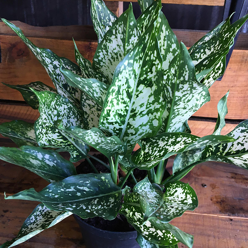 Aglaonema White Dalmatian Forget Me Not Flower Market